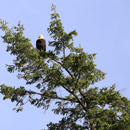 Eagle in Pine Tree | Houseboat Rental Rates | Lake Roosevelt Adventures