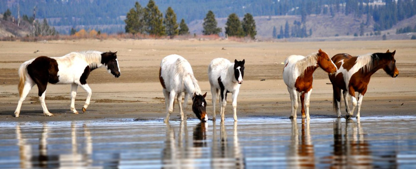 Five horses on the shore of the lake   Bird & Wildlife Watching   Activities   Lake Roosevelt Adventures
