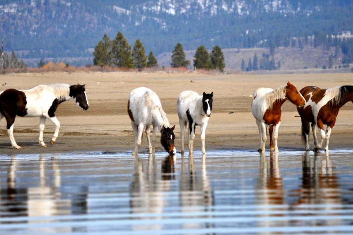 Five horses on the shore of the lake | Bird & Wildlife Watching | Activities | Lake Roosevelt Adventures