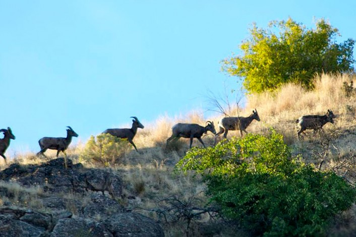Horned animals walking up a hill | Hunting | Activities | Lake Roosevelt Adventures